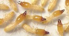 شركات مكافحة النمل الابيض بالمدينة المنورة
