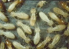 شركات مكافحة النمل الابيض بالقطيف